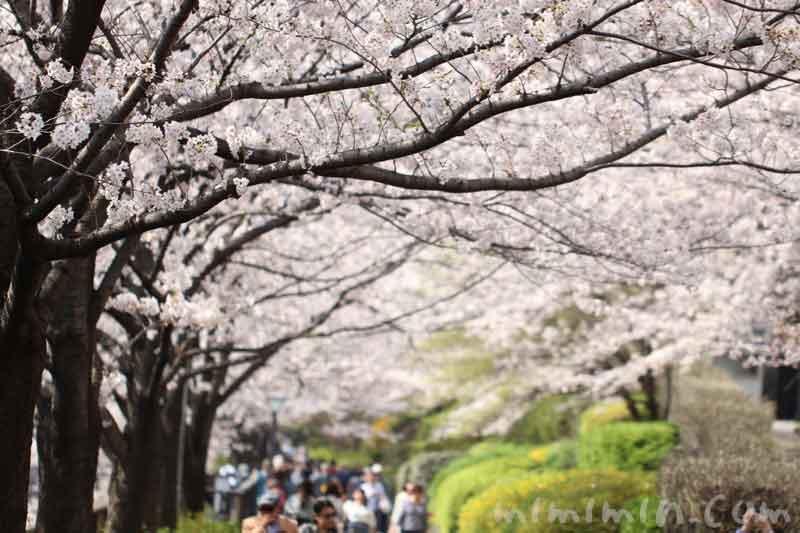 目黒川のお花見(ソメイヨシノ)満開の写真
