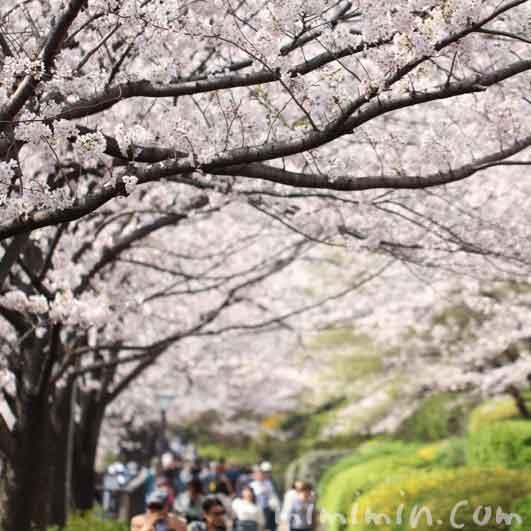 目黒川の桜(ソメイヨシノ)の画像
