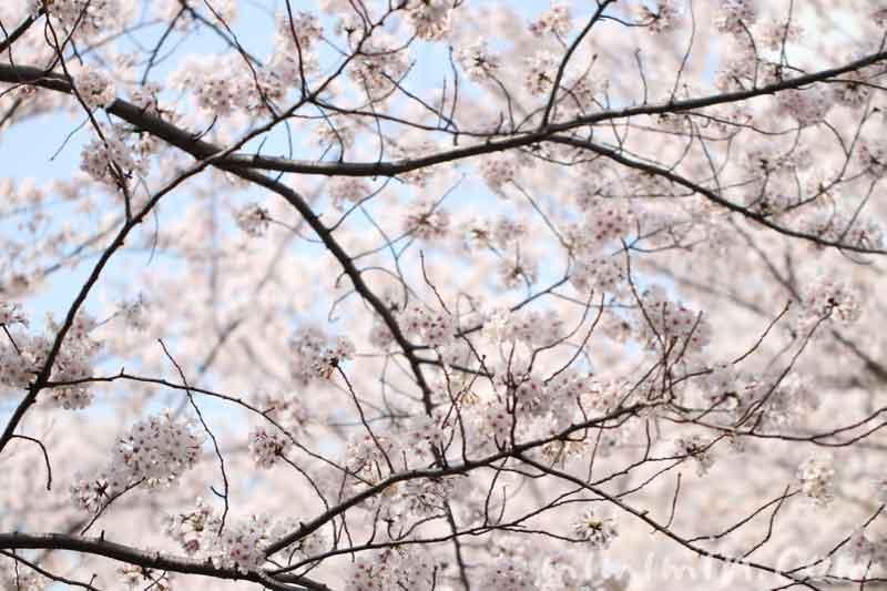 目黒川のお花見(ソメイヨシノ)満開|中目黒の画像
