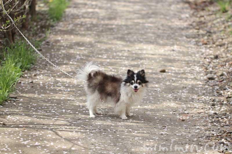 犬・チワワとお花見(目黒川の桜)の写真