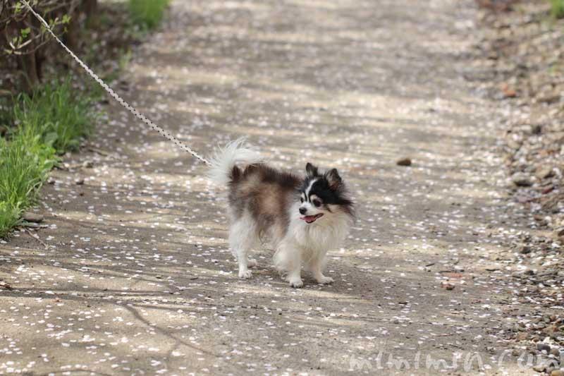 犬・白黒チワワとお花見(目黒川の桜)の画像