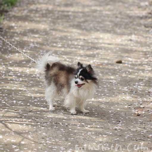 犬と目黒川のお花見の写真