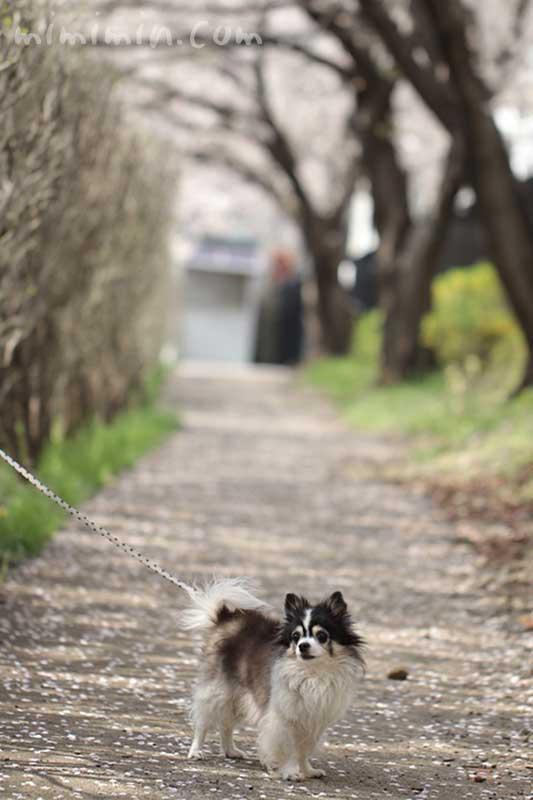 白黒チワワとお花見(目黒川の桜)の写真