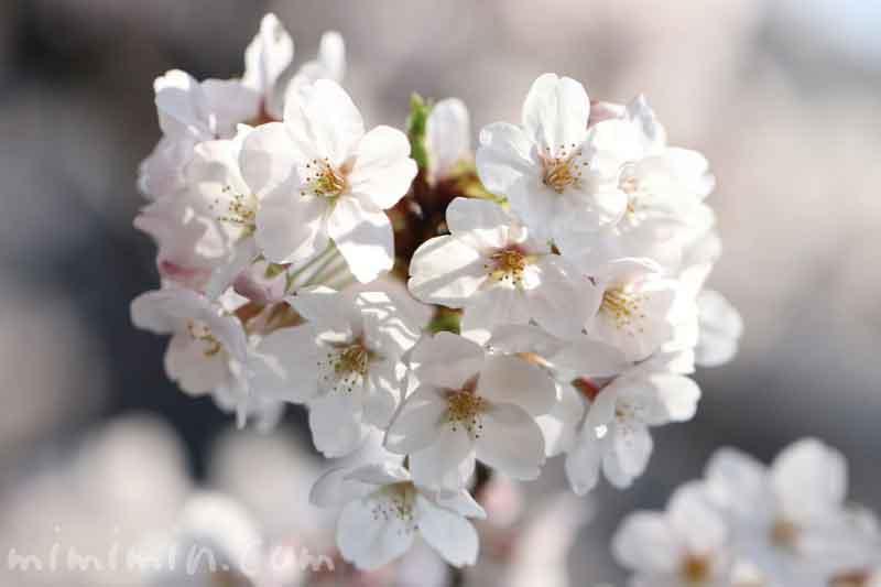 目黒川のお花見(ソメイヨシノ野)満開|中目黒のサクラの画像
