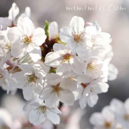 目黒川の桜の花(ソメイヨシノ)の画像