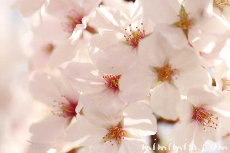 ソメイヨシノの花の写真・名前の由来の画像