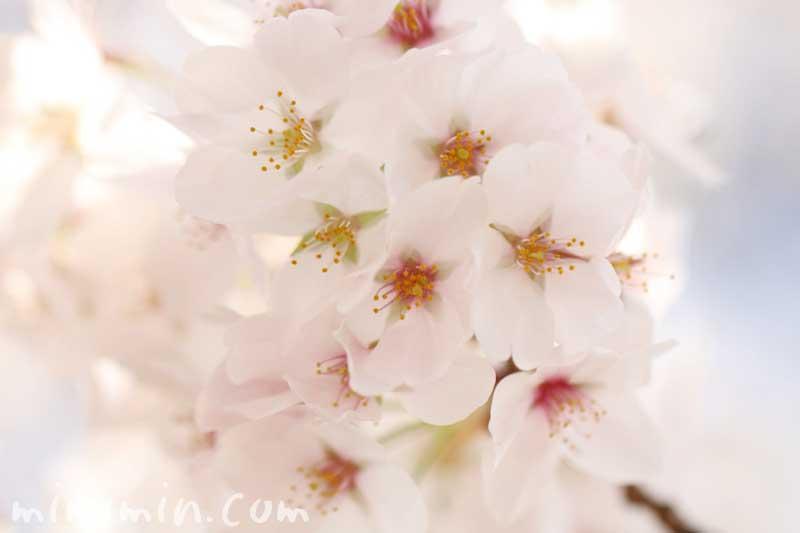 染井吉野の写真・名前の由来の画像