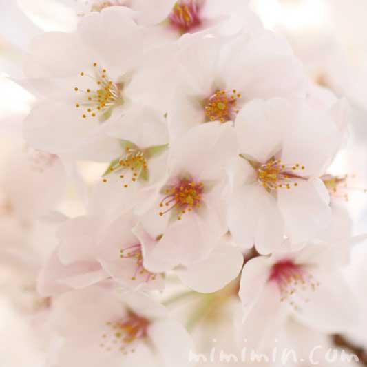 ソメイヨシノの写真・誕生花の画像