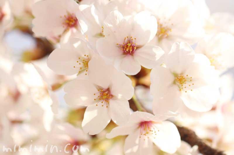 染井吉野の花の写真・名前の由来の画像