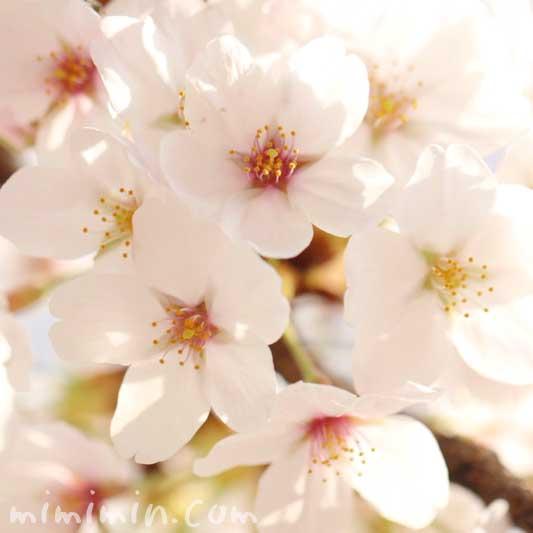染井吉野の花の写真・誕生花の画像