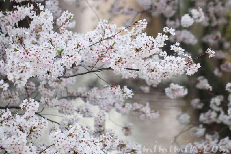 目黒川の桜が満開・お花見・中目黒の画像