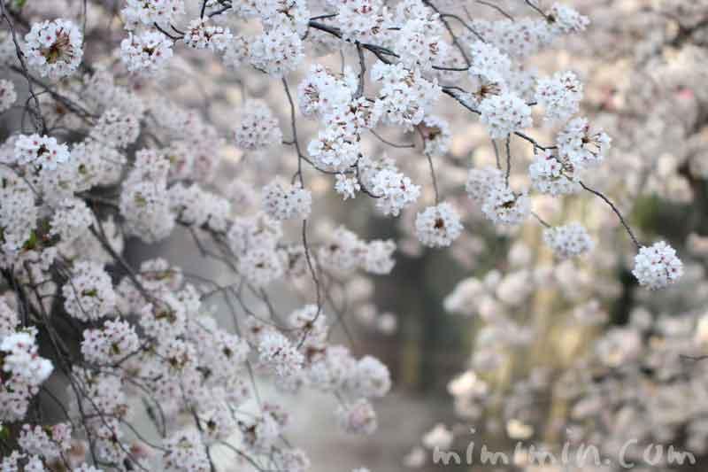 目黒川の桜が満開・お花見・中目黒