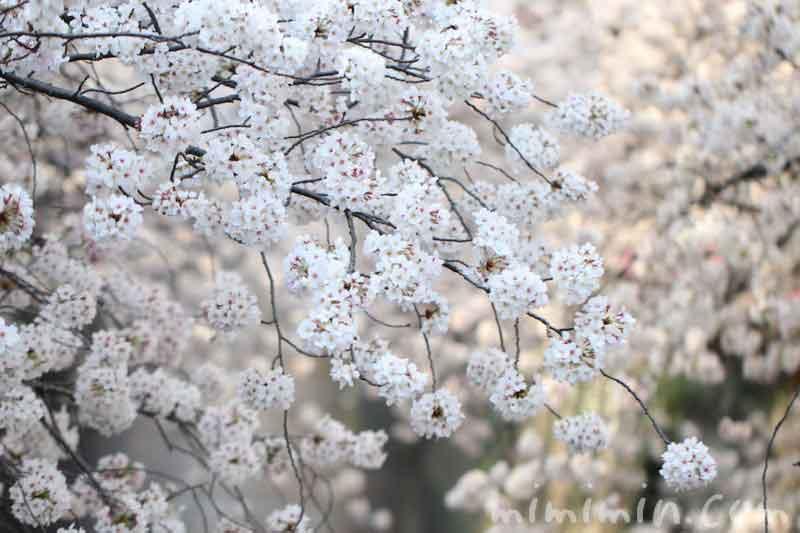 目黒川の桜の花が満開・お花見・中目黒の画像