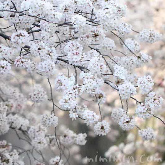 目黒川の桜の花が満開・お花見・中目黒