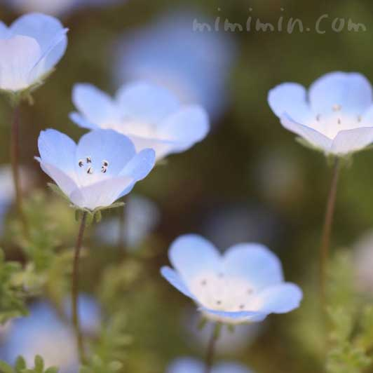 ネモフィラの花の写真と花言葉の画像