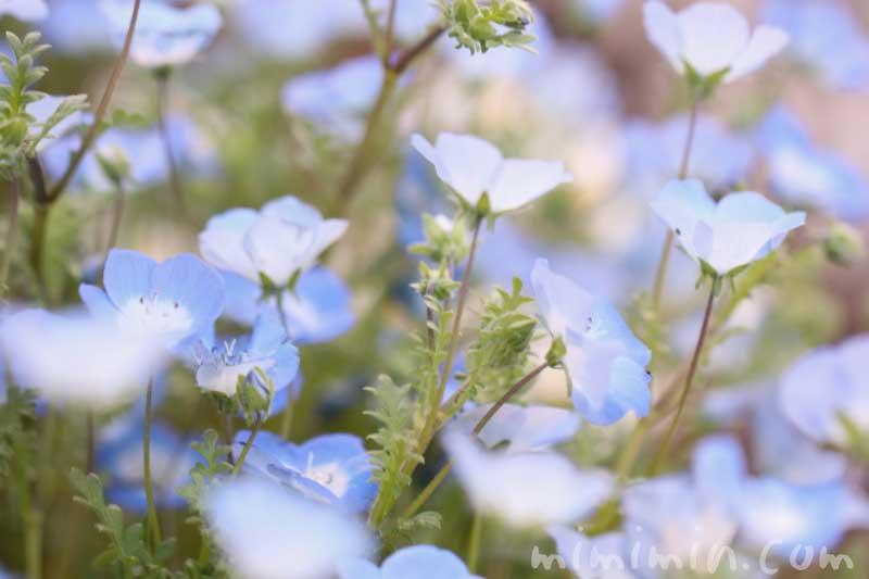 ネモフィラの花の写真と花言葉と誕生花