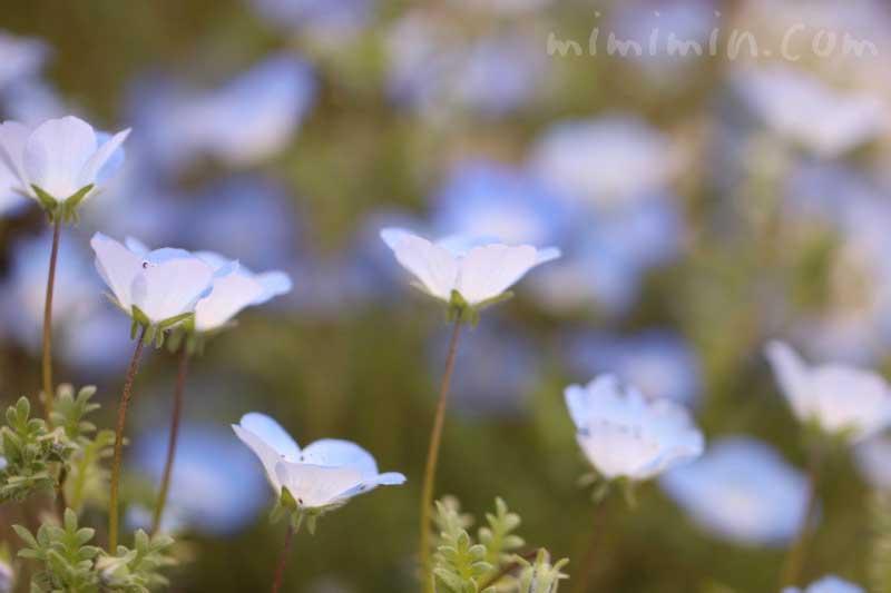 ネモフィラの花の写真と誕生花の画像