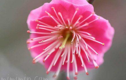 ピンク色の梅の写真と花言葉