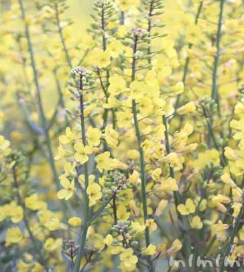 菜の花(ナノハナ)の花の写真・花言葉・名前の由来