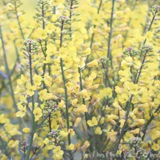 満開のナノハナ(黄色)の画像と花言葉