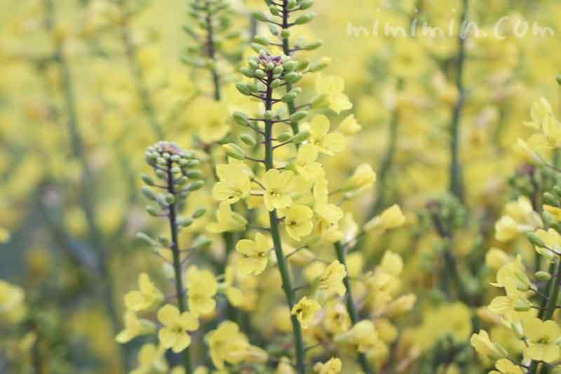菜の花(黄色)の画像・花言葉