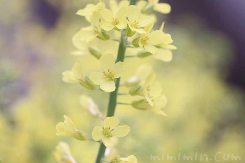 菜の花(黄色)の画像・花言葉の写真