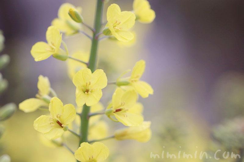 菜の花の画像・花言葉の写真