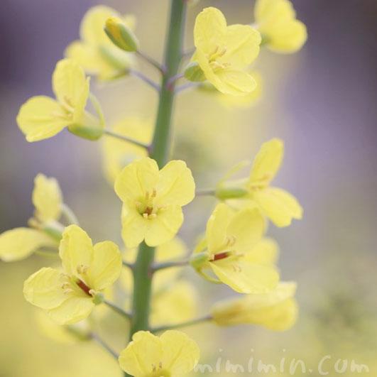 菜の花の画像・花言葉