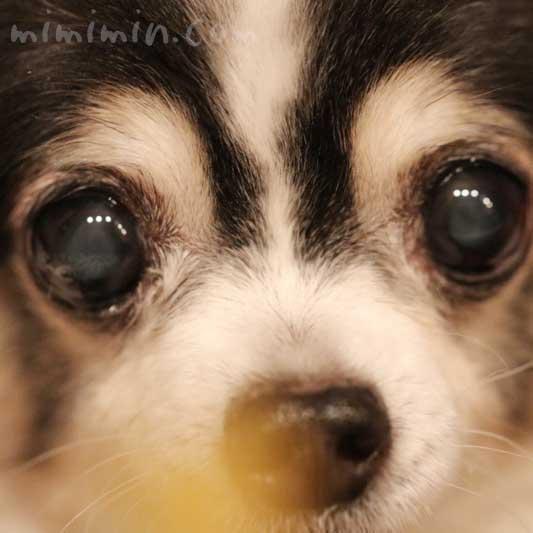 白黒チワワ|焼き芋を見つめる画像