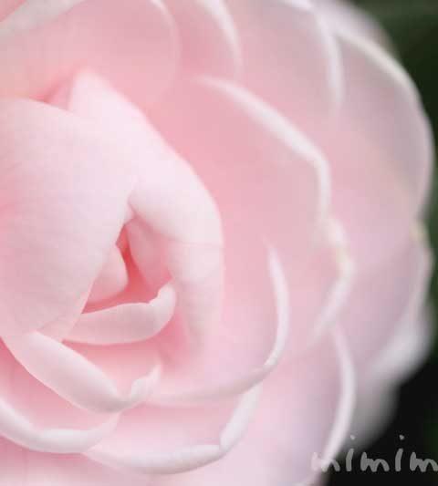 ツバキ(八重咲き・千重咲きの乙女椿)|花の写真・花言葉