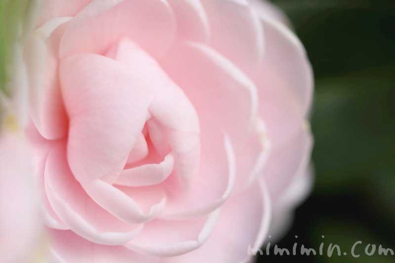 椿の花(薄いピンクの八重咲き・千重咲きの乙女椿)の画像