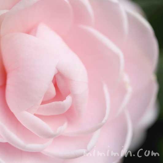 ツバキ(薄いピンクの八重咲き・千重咲きの乙女椿)の画像