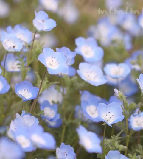 ネモフィラの花の写真・花言葉