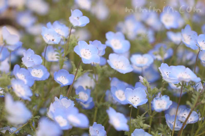 ネモフィラの写真と花言葉と誕生花の画像