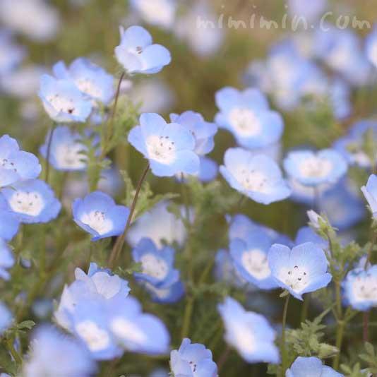 ネモフィラの花の写真と花言葉と誕生花の画像
