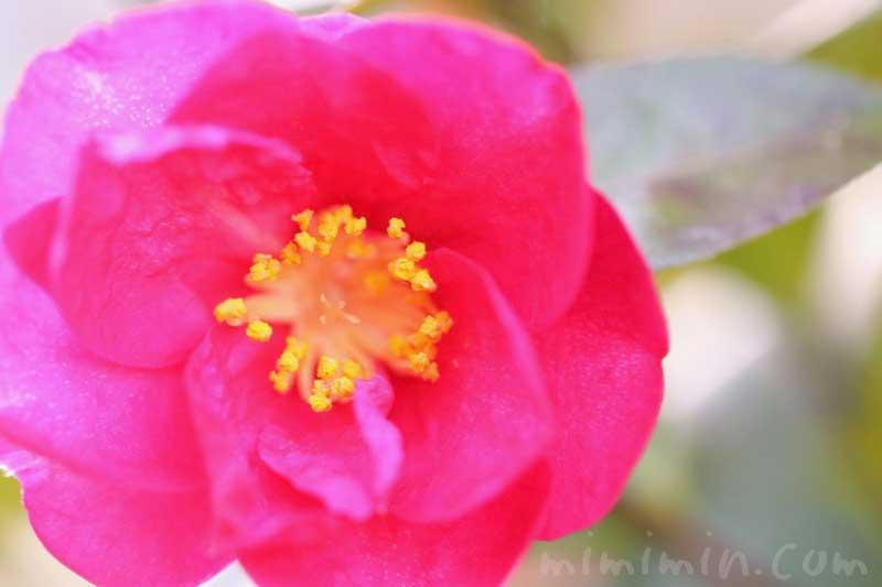 山茶花の花言葉・濃いピンクの山茶花