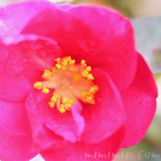 山茶花の花言葉・山茶花の写真(濃いピンク色)の画像