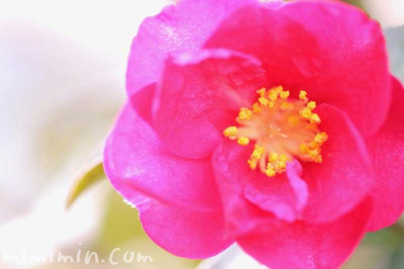 サザンカの花言葉・濃いピンクのサザンカの花