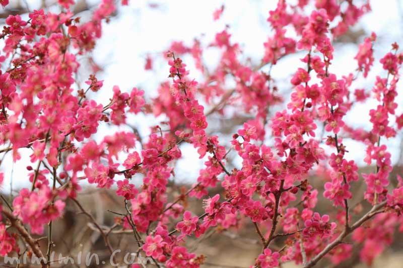 ピンク色の梅の写真&花言葉の画像