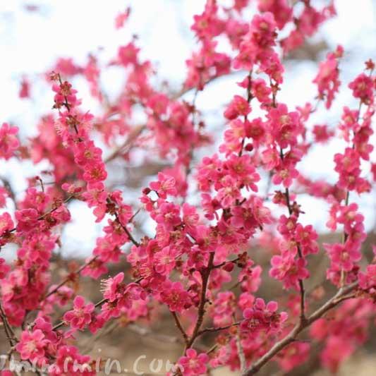 紅梅の写真と花言葉の画像