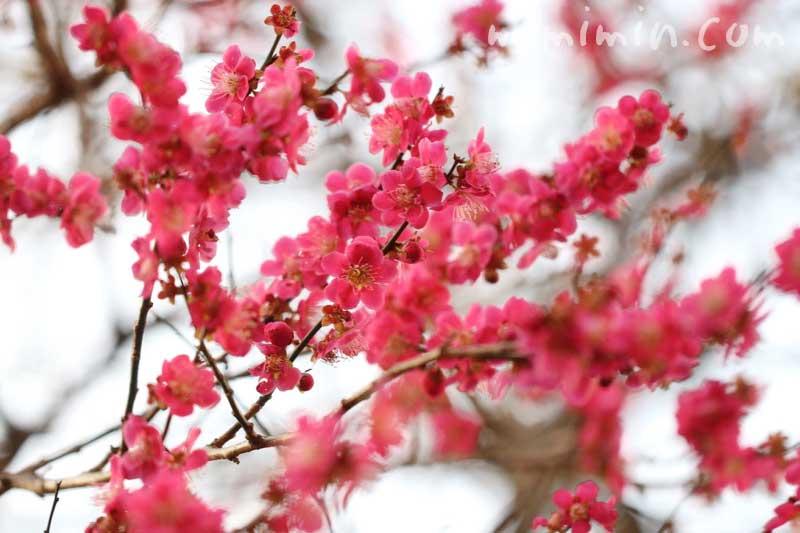 ピンク色の梅の花の写真&花言葉