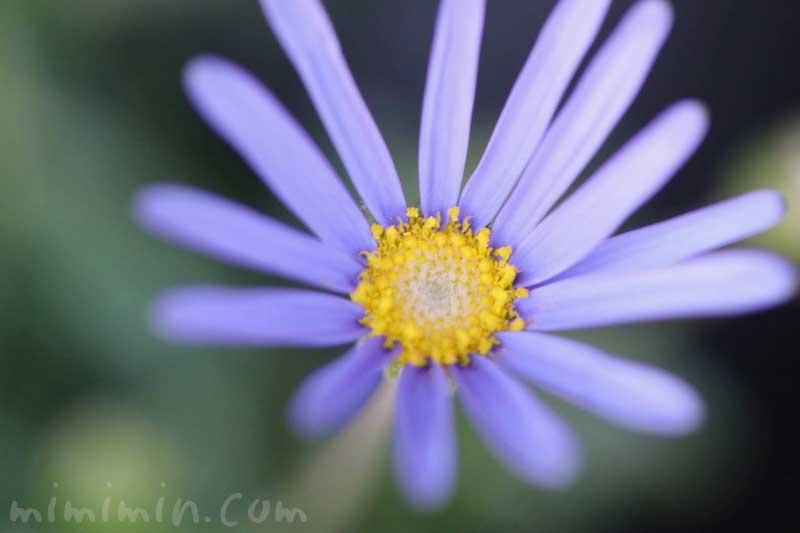 ルリヒナギクの花の写真