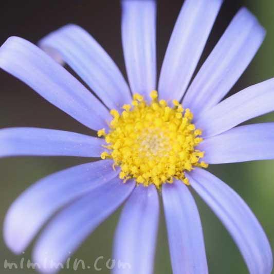 ブルーデイジーの花