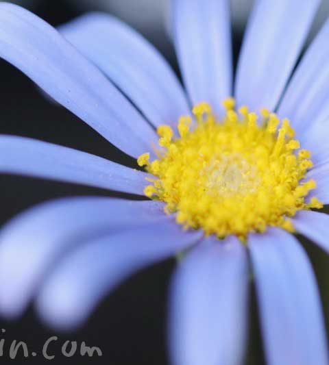 ブルーデージー(ブルーデイジー)の花の写真・花言葉