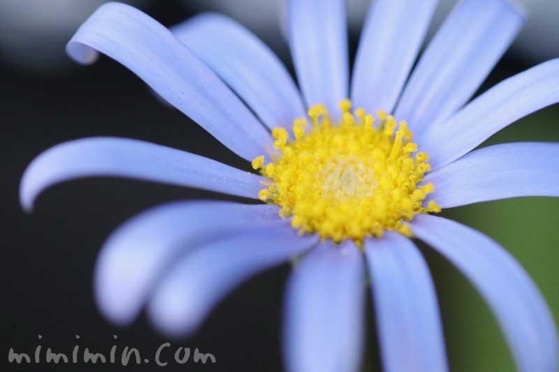 瑠璃雛菊の花の写真