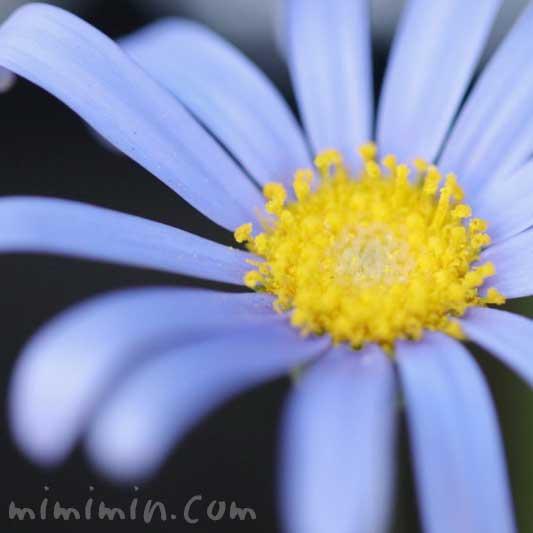 ブルーデージーの花の写真