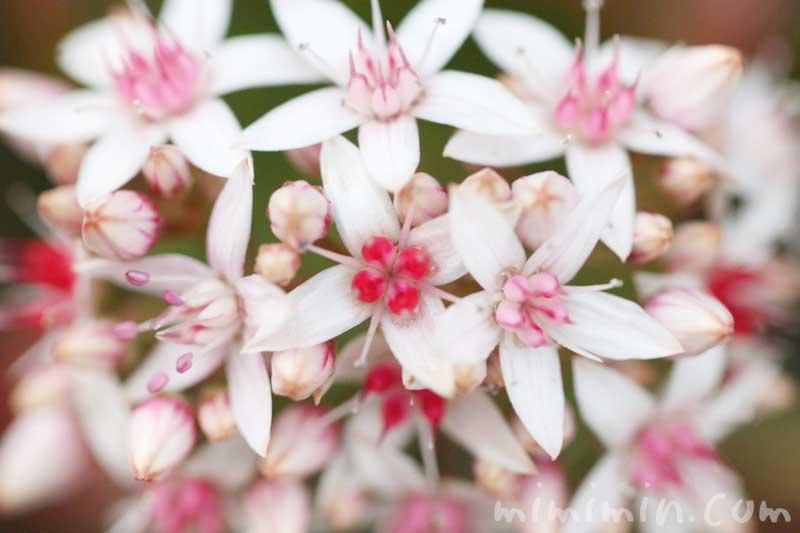 カネノナルキの写真 花言葉