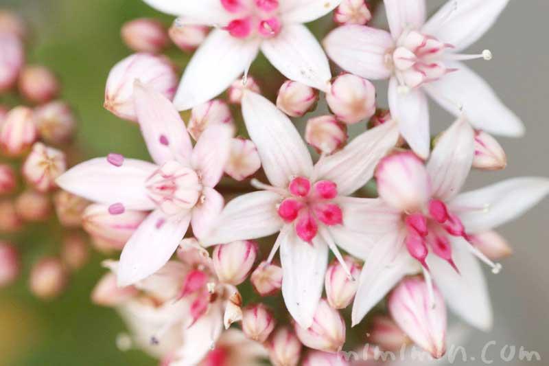カネノナルキの写真と花言葉の画像