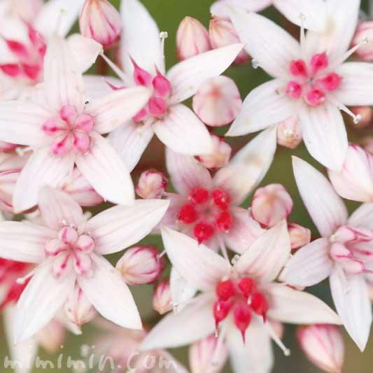 金のなる木の花の写真 花言葉
