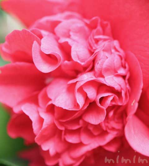 ツバキ(椿)の花の写真・ツバキの花言葉